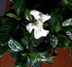 Magnolia aka Snow First flower
