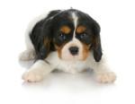 Puppy with dark circles around eyes